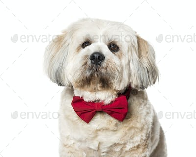 Lhasa apso in bow tie against white background