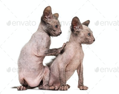 Kitten Lykoi cats, 7 weeks old, also called the Werewolf cat against white background