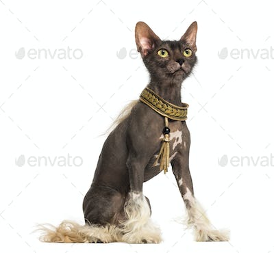 Chinese Crested dog with the head of a Lykoi cat against white background
