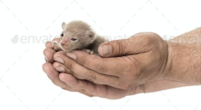 Cute little Peterbald cat kitten on the human's hands