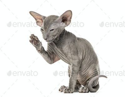Side view of a young peterbald cat high-fiving in a funny position, sitting, isolated on white
