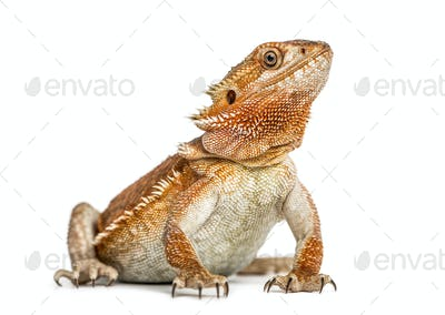 bearded dragon (pogona vitticeps) isolated on white background