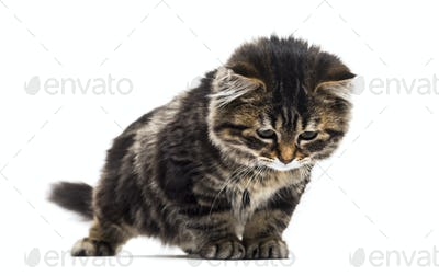 Stripped kitten mixed-breed cat looking down, isolated on white