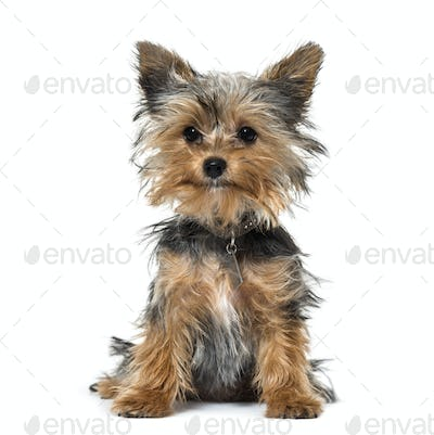 Yorkshire terrier puppy sitting against white background