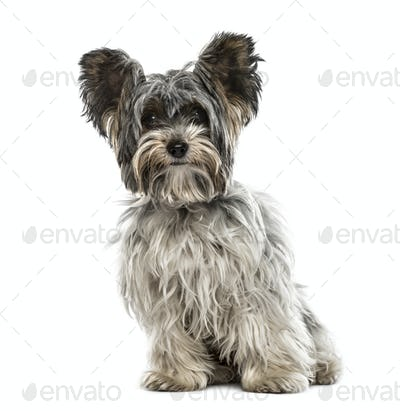 Biewer yorkshire sitting, isolated on white