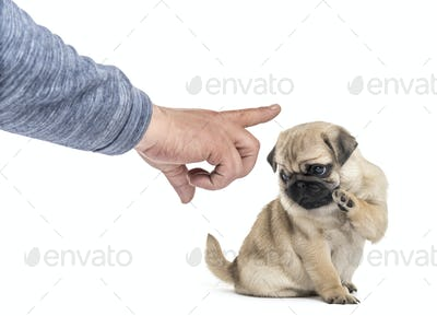 Pug puppy facing human hand ordering, isolated on white