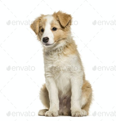 Border Collie puppy sitting against white background