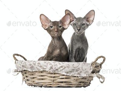 two peterbald kittens sitting in a wicker basket