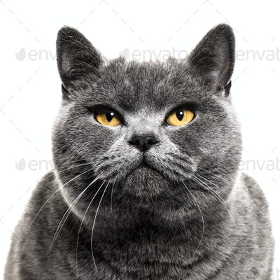 close-up on a Grey british shorthair cat, isolated on white
