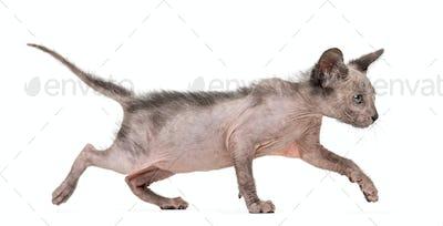 Kitten Lykoi cat, 7 weeks old, also called the Werewolf cat walking against white background