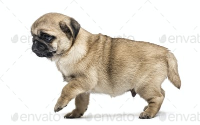 Pug puppy walking, isolated on white