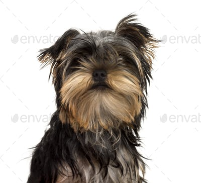 Close-up of a Yorkshire Terrier puppy, isolated on white
