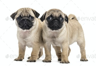 Pug puppies side by side, isolated on white