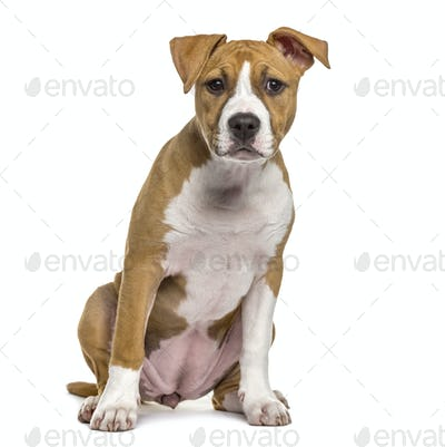 American Staffordshire Terrier puppy, 4 months old, isolated on white