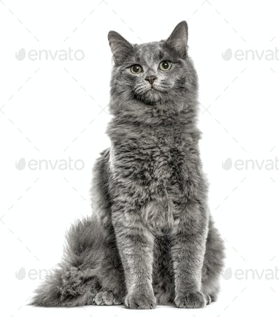 Chartreux sitting, isolated on white