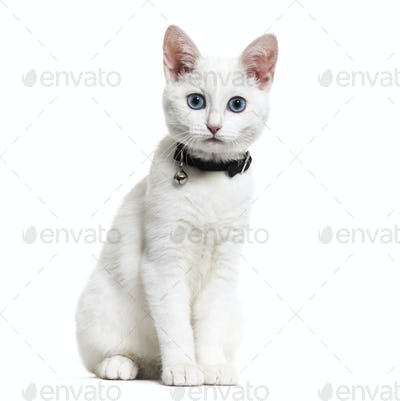 White kitten mixed-breed cat wearing a bell collar and looking at the camera, isolated on white