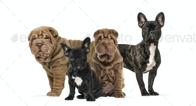 Shar Pei puppies and french bulldogs together against white background