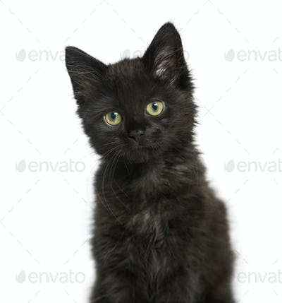 portrait of a Black cat kitten, isolated on white