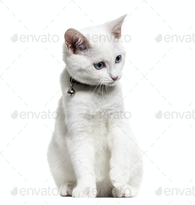 White kitten mixed-breed catwearing a bell collar and looking down, isolated on white