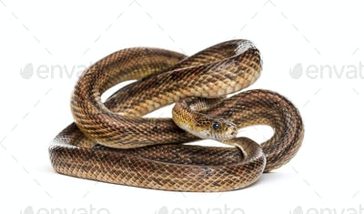 Brown snake rolling, isolated on white
