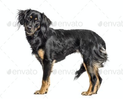 Close-up of a mixed-breed standing, isolated on white
