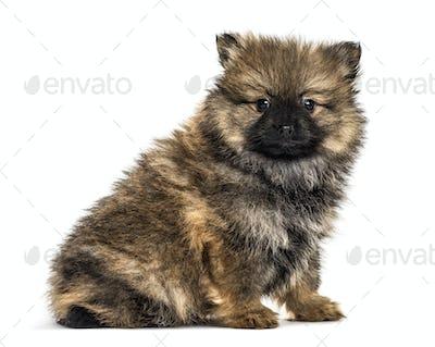 German spitz puppy sitting, isolated on white