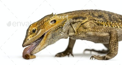 Close-up of bearded dragon eating larva, isolated on white