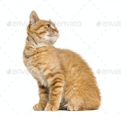Ginger cat looking bak and looking up, sitting, isolated on white