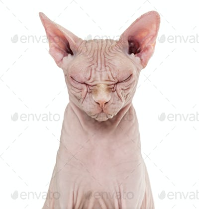 Sphynx Hairless Cat, 4 years old, with eyes closed against white background