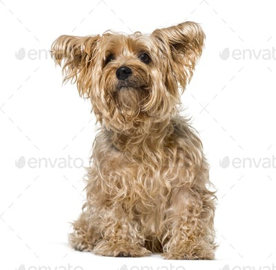 Hairy Yorkshire Terrier (9 years old)