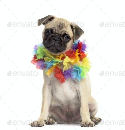 Pug sitting wearing a hawaiian lei, isolated on white