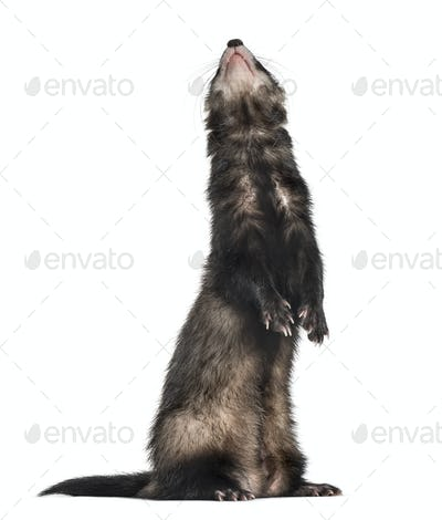 ferret on hind legs looking up, isolated on white