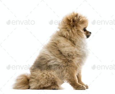 Side view of a pomeranian puppy, isolated on white