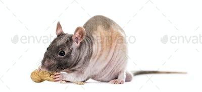 Rat eating peanut, isolated on white