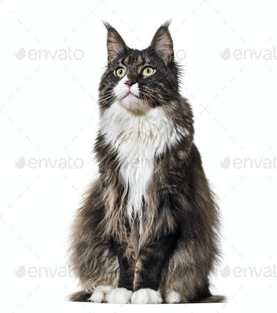 Maine Coon cat sitting and looking up against white background
