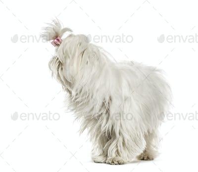 Maltese looking backwards, isolated on white