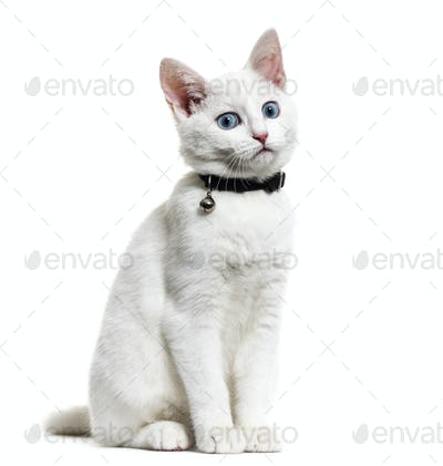 White kitten mixed-breed cat wearing a bell collar, isolated on white