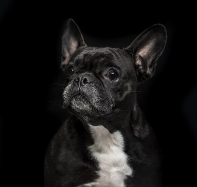 French Bulldog (6 years old) on black background