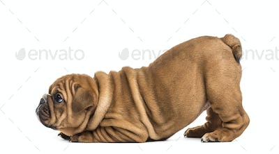 English bulldog puppy lying on his front paws, isolated on white