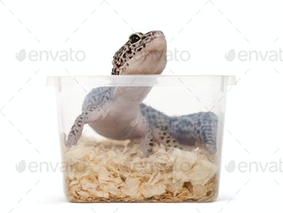 Leopard gecko, reptile,  in a plastic box ready for transport