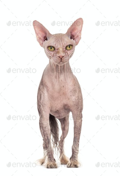 Chinese Crested dog with the head of a Sphinx cat against white background