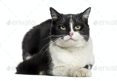 European cat lying, isolated on white