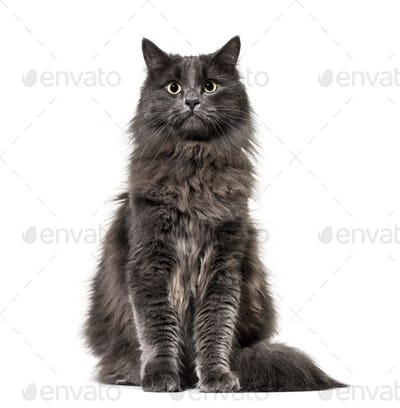 Mixed-breed cat whit a main coon  (1 year old), isolated on white