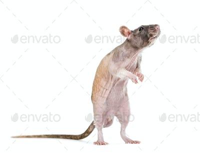 Rat on hind legs, isolated on white