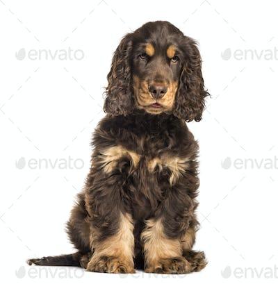 Brown cocker spaniel dog sitting