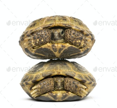 Two turtles one above the other, isolated on white
