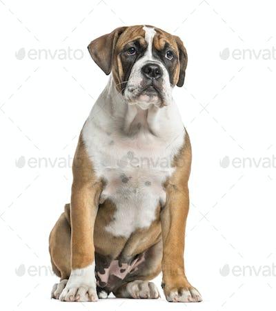 Mixed-breed, English bulldog and boxer, sitting, isolated on white