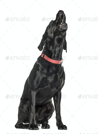 Cane corso howling, isolated on white