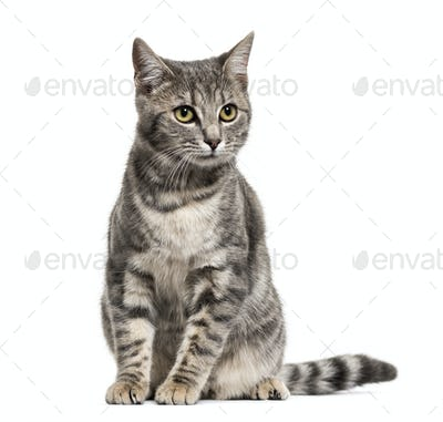Grey stripped mixed-breed cat sitting, isolated on white
