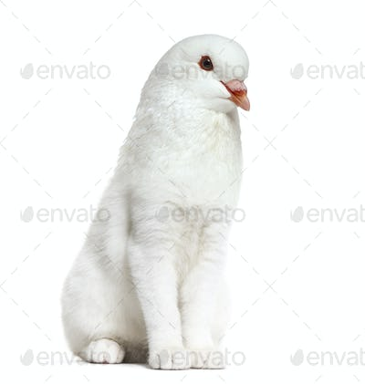White kitten with King Pigeon head against white background
